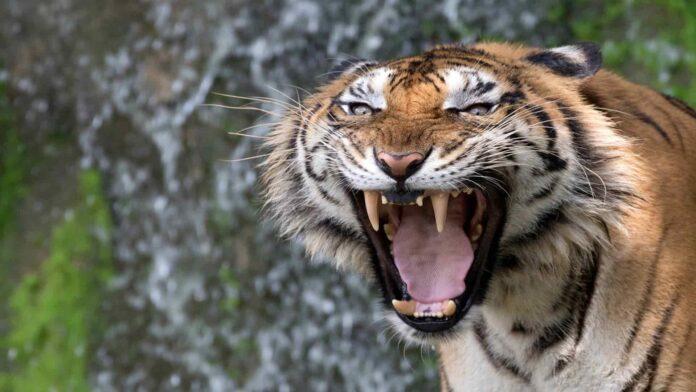 azjatyckie tygrysy