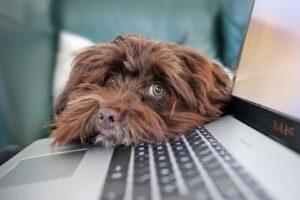 Pies zerkający znad laptopa